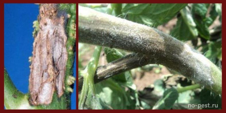 Поражение стебля и плодоножек при альтернариозе томатов
