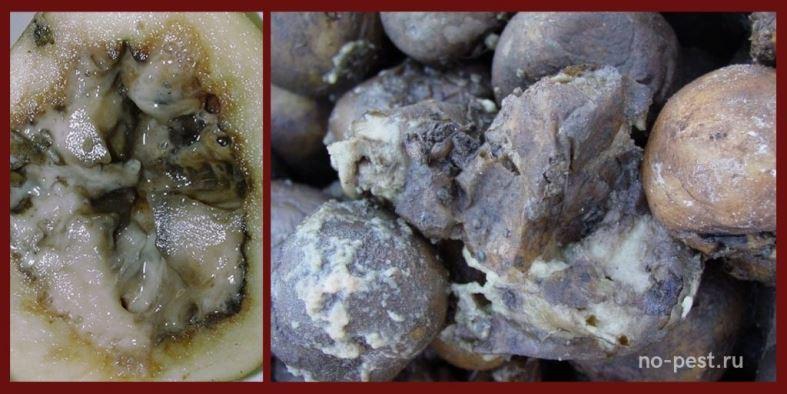 Мокрая бактериальная гниль картофеля