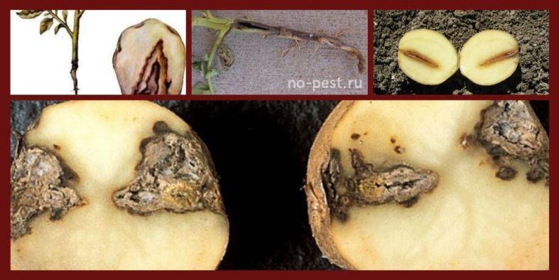 """Признаки заражения картофеля """"черной ножкой"""""""