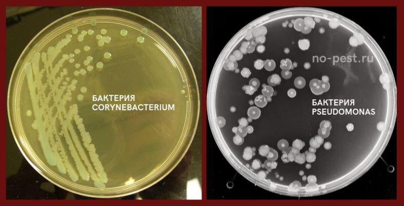 Виды бактерий, вызывающие бактериальные болезни картофеля