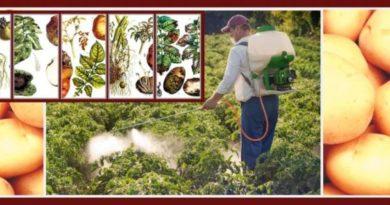 Защита картофеля от болезней - профилактика и лечение