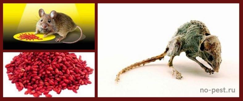 Мумифицирующий эффект при использовании зерновых приманок от грызунов