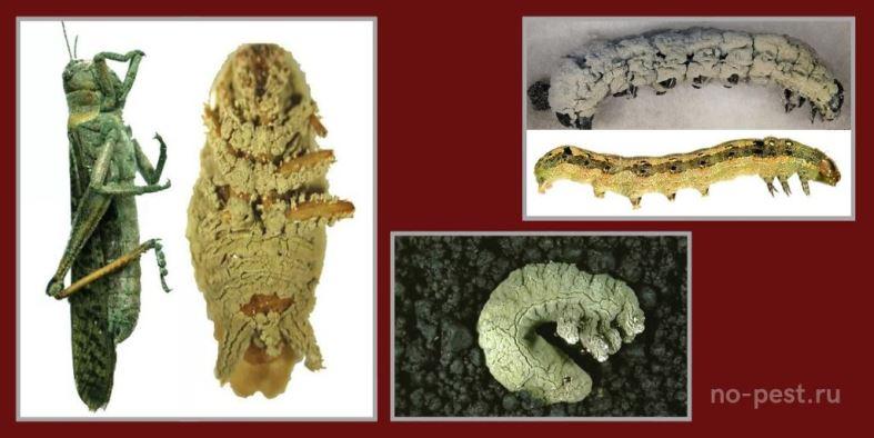 """Последствия воздействия на насекомых - вредителей и их личинки препаратом """"Метаризин"""" на основе грибов Metarhizium"""