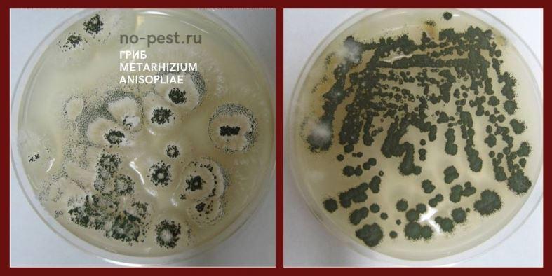 "Энтомопатогенный гриб Metarhizium anisopliae - основа препарата ""Метаризин"""