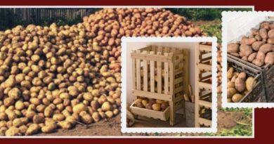 Обработка картофеля перед хранением - условия, препараты, способы и пр.