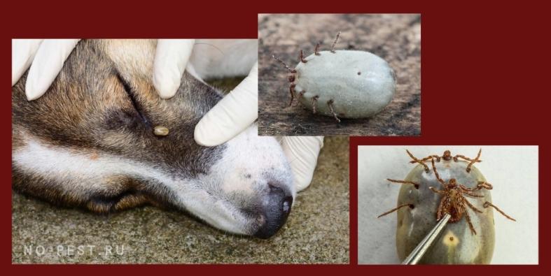укус клещом собаки и сравнительный размер клеща
